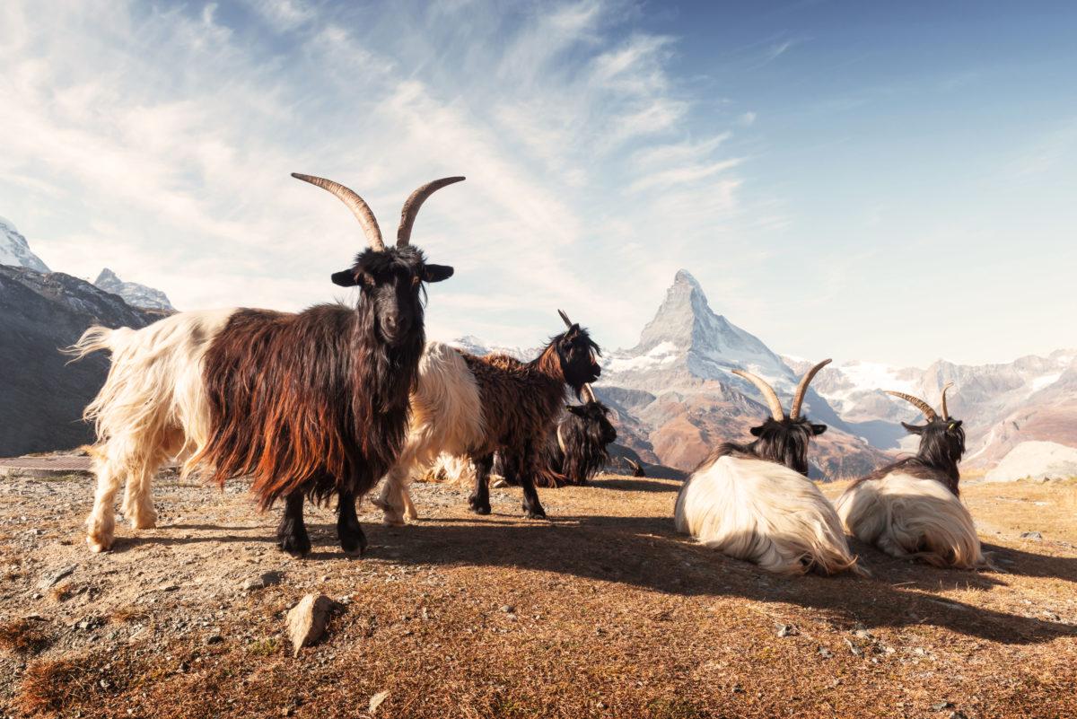 Hotel Beau Rivage Zermatt Walliser Schwarzhalsziege Ziege